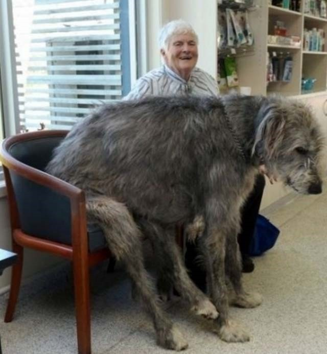 big-size-dogs10