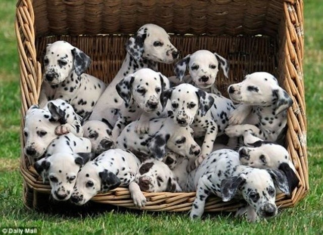 most-adorable-puppies04